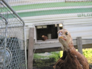 Chick chick chickeeee