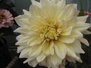 Pretty Cream Dahlia