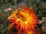 Other Bee on strawflower